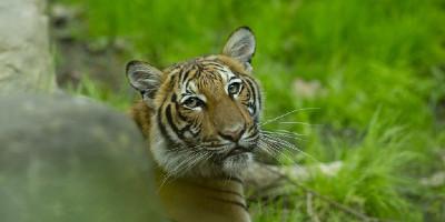Seekor Harimau Di Kebun Binatang New York Positif Terinveksi Virus Corona