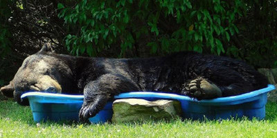 Momen Menggemaskan, Beruang Hitam Besar Tidur Siang Di Kolam Renang Anak
