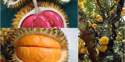 Serba Serbi Buah Lai, Kembaran Durian yang Sedang Digemari Tua Muda